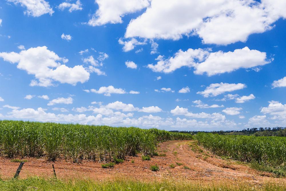 Field of sugarcane on farm under blue sky and cumulus cloud in tropical Tiaro, Queensland, Australia