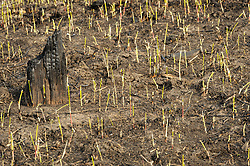New growth of recently burned grass grows in a prairie in the Flint Hills in Chase County near Clements, Kansas. Prairie grasses in the Flint Hills are intentionally burned by land mangers and cattle ranchers in the spring to prepare the land for cattle grazing and help maintain a healthy tallgrass prairie ecosystem. The burning is also an effective way of controlling invasive plants and trees. The prairie grassland is burned when the soil is moist but grasses are dry. This allows the deep roots of the grasses to survive and the burned grasses on the soil surface return as nutrients to the soil. These nutrients allow for the rapid growth of new grass. After approximately two weeks of burning, new grass emerges. This new grass is prized by cattle ranchers and their cattle for being high in protein allowing cattle to gain more weight, quicker than cattle in other areas of the country. While some land managers and cattle ranchers in the Flint Hills burn their grassland every year, it is considered better for the prairie ecosystem to skip one or two years to allow for a greater diversity of plants and protection for birds who nest in the tall  prairie grasses.