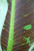 Raindrops glisten on the leaves of a banana tree.