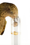 [captive] In this experiment, the Kea (Nestor notabilis) is presented three tubes filled with water, large or small stones. The Kea learns to drop stones into the tube filled with water until the water level has risen high enough for the Kea to pick up a nut. The picture was taken in cooperation with the University of Vienna (UniVie) and University of Veterinary Medicine Vienna (VetMed). Sequence 7/16. | In diesem Experiment werden dem Kea (Nestor notabilis) drei Röhrchen präsentiert, die entweder mit Wasser, kleinen oder großen Steinchen gefüllt sind. Der Kea wirft gezielt Steine in die Säule mit Wasser, bis die darin befindliche Nuss hoch genug schwimmt, um vom Kea erreicht zu werden. Das Bild wurde in Zusammenarbeit mit der Veterinärmedizinischen Universität Wien und der Universität Wien erstellt. Sequenz 7/16.