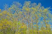 Carolinian forest in spring<br />Grimsby<br />Ontario<br />Canada