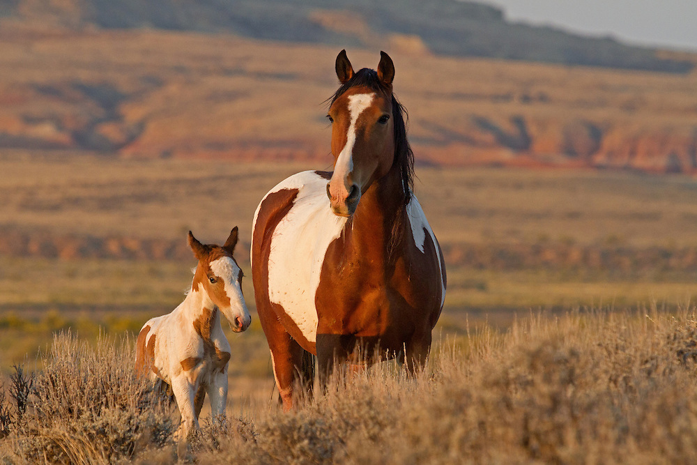 Early in September, Ruger, a wild  mare, and her tiny foal, Rebel, greet the new day at the McCullough Peaks Herd Management Area outside of Cody, Wyoming.