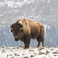 Bison in winter. Yellowstone National Park.