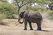 African elephant in habitat