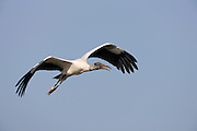 Wood stork in flight over the Everglades