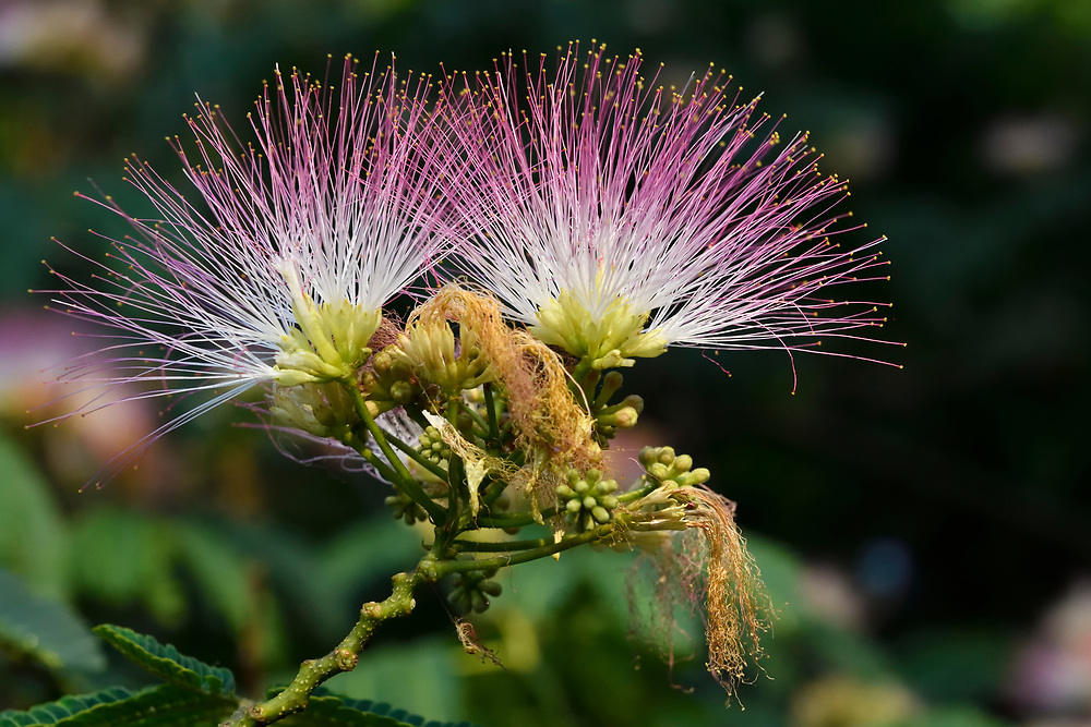 Pink Silk Tree, Alibizia julibrissin, growing in the East Lake Greenway park, Wuhan, Hubei, China