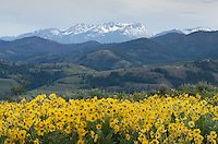 Raven Ridge in distance, and Arrowleaf Balsamroot (Balsamorhiza sagittata) growing in meadows of the Methow Valley, North Cascades Washington