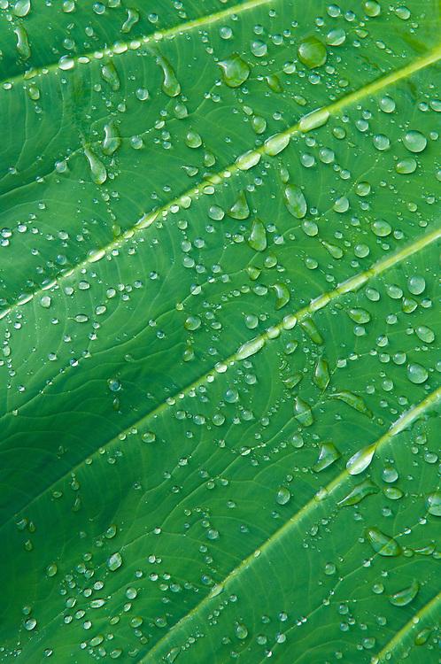 Raindrops on taro leaf; Hana Coast, Maui, Hawaii.