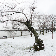 Some of Washington DC's famous cherry trees in a late snow. Each March and April, the cherry blossoms spring into beautiful bloom in an annual event that has become a major tourism draw for the region. But the bloom comes fairly quickly, and throughout the winter the deciduous trees are bare.