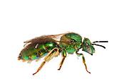 Metallic Green Bee (Augochloropsis metallica), South Carolina.