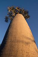 Pachypodium tree, Pachypodium sp., Southern Madagascar