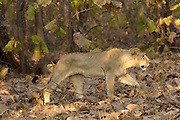 Sasan Gir - Monday, Jan 08 2007:  Side view of a male cub Asiatic Lionwalking through the forest at Gir National Park. (Photo by Peter Horrell / http://www.peterhorrell.com)