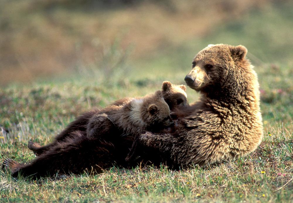USA, Alaska, Denali National Park, Grizzly Bear sow nurses spring cubs (Ursus arctos) on alpine tundra in Highway Pass