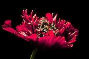 This red Oriental Poppy was growing in my neighbor's garden where I photographed it.