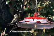 01161-004.01 Black-chinned Hummingbird (Archilochus alexandri) female on feeder, Madera Canyon   AZ