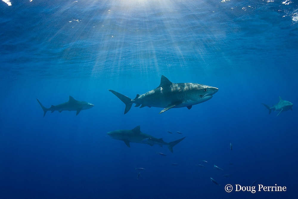 tiger sharks, Galeocerdo cuvier, North Shore, Oahu, Hawaii, USA ( Central Pacific Ocean ) (de)