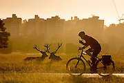 UNITED KINGDOM, London: 04 August 2015 Fallow deer take a rest in the early morning sun as a commuter rides through Richmond Park this morning. Rick Findler / Story Picture Agency