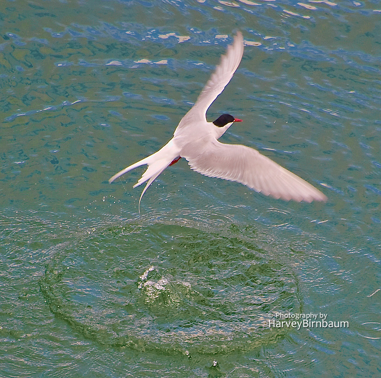 Sea Birds Seydisfjordur Iceland 6_13_09