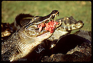 Wild yacare caiman eats head of calf fetus from butchered cow it scavenged on Pantanal ranch. Brazil