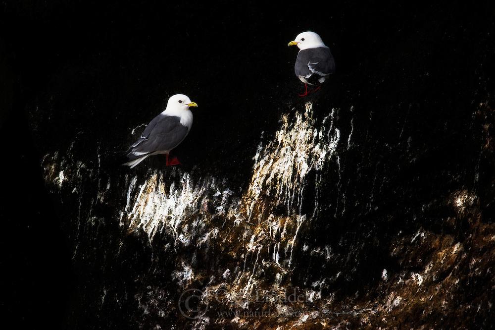 Red-legged Kittiwake (Rissa brevirostris) in Commander Island