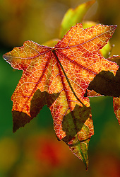 The backlit leaf of Liquidamber styraciflua in autumn. Sweet gum