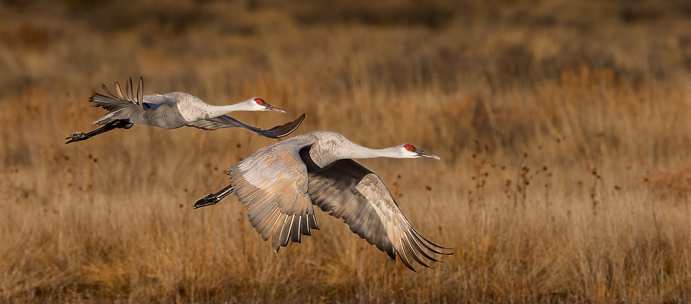 A pair of Sandhill Cranes in flight
