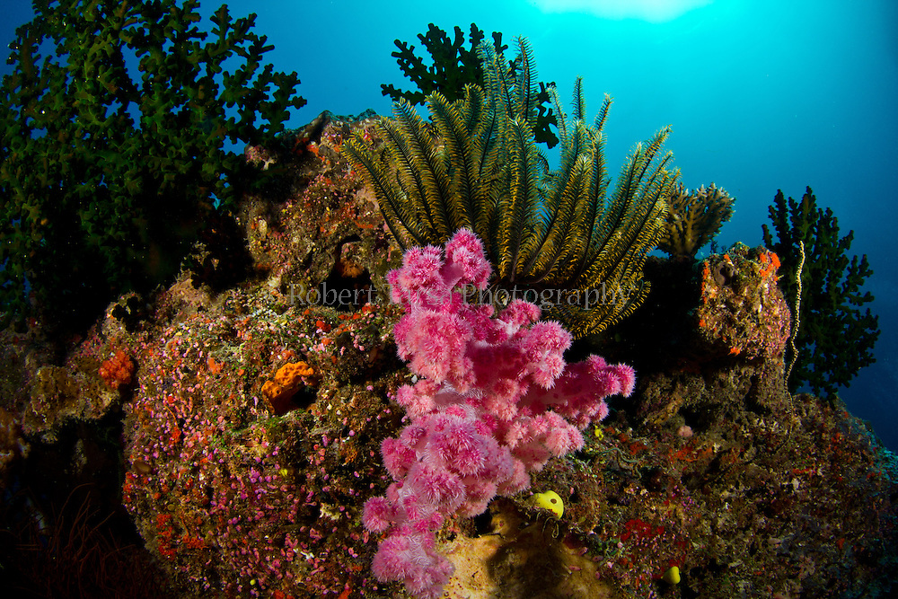 Red soft coral with thorny feather star on Fijian reef.