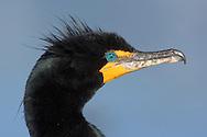 Double-crested Cormorant - Phalacrocorax auritus