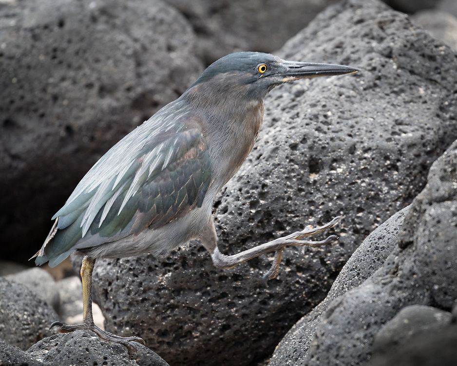 Butorides sundevalli, or B striata, islet near Santa Cruz, Galapagos, a Galapagos endemic, probably a subsepecies or color morph of striated heron.