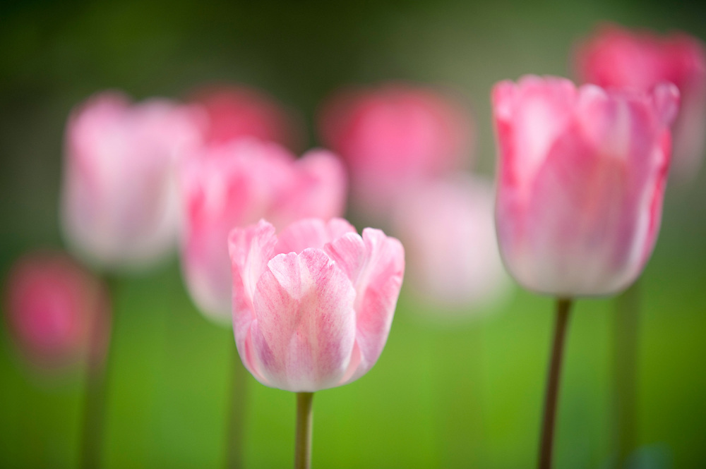 Pink tulips in an English country garden.