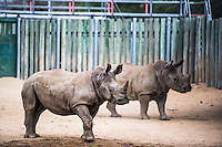 White Rhino orphans in Rehabilitation Center, Kruger National Park, Limpopo, South Africa