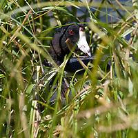 Coot on nest. Harriman State Park, Idaho
