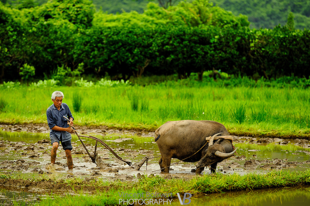 An old farmer labouring rice paddies with his water buffalo, Yulong River valley, Yangshuo Area, China