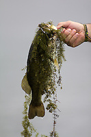 LARGEMOUTH BASS CAUGHT ON A BLACK SPINNERBAIT AND COVERED IN MOSS