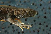 Great Crested Newt or Northern Crested Newt, male (Triturus cristatus) eating frogspawn. Lake Selent (Selenter See), Germany | Der Kammmolch (Triturus cristatus) geht während der Fortpflanzungszeit in seinen sonnigen Laichgewässern auf Nahrungssuche und frisst dort mit Vorliebe Froschlaich.