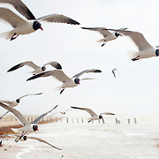Seagulls at North Padre Island, Texas Coast