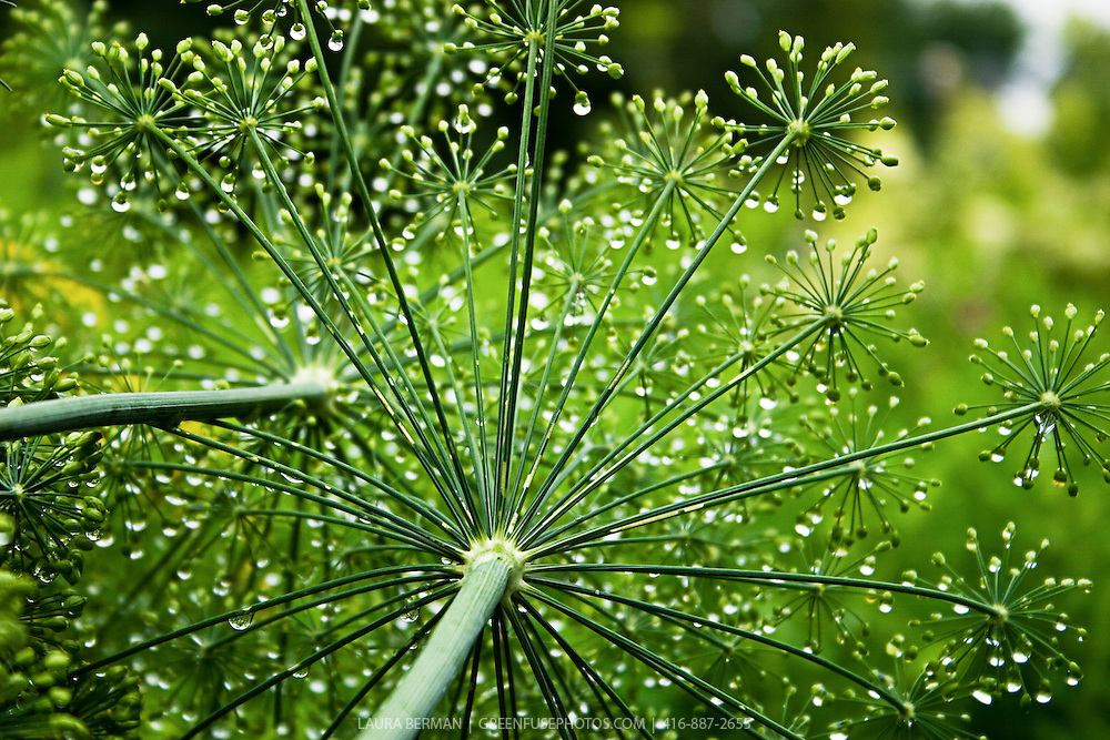Dill seed heads covered with water drops, sparkling in the sun.
