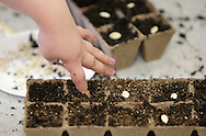 A George L. Cooke Elementary School kindergarten students presses a vegetable seed into soil at the school in Monticello on Monday, May 13, 2013. The plants will be moved outside to the Little Sprouts Garden later in May. The garden is a STEM (Science, Technology, Engineering and Math) project that the entire school is doing.