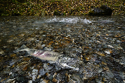 A dead male salmon lies in the special spawning channel of Herman Creek near Haines after being harvested for its milt by fish technicians with the nonprofit Northern Southeast Regional Aquaculture Association, Inc. (NSRAA). NSRAA built the channel to collect wild broodstock by harvesting spawning female and male salmon for their eggs and milt. In the background, another wild chum salmon powers his way up the creek to spawn. Because the salmon would have died in the creek had it spawned, the NSRAA fish technicians return harvested fish to the creek for bears and other animals to eat just as they would have done had the fish died naturally.<br /> <br /> These salmon are returning to freshwater Herman Creek after three to five years in the saltwater ocean. Spawning only once, chum salmon die approximately two weeks after they spawn. Both sexes of adult chum salmon change colors and appearance upon returning to freshwater. Unlike male sockeye salmon which turn bright red for spawning, male chum salmon change color to an olive green with purple and green vertical stripes. These vertical stripes are not as noticeable in females, who also have a dark horizontal band. Both male and female chum salmon develop hooked snout (type) and large canine teeth. These features in female salmon are less pronounced. <br /> <br /> Herman Creek is a tributary of the Klehini River and is only 10 miles downstream of the area currently being explored as a potential site of a copper and zinc mine. The exploration is being conducted by Constantine Metal Resources Ltd. of Vancouver, British Columbia along with investment partner Dowa Metals &amp; Mining Co., Ltd. of Japan. Some local residents and environmental groups are concerned that a mine might threaten the area&rsquo;s salmon. Of particular concern is copper and other heavy metals, found in mine waste, leaching into the Klehini River and the Chilkat River further downstream. Copper and heavy metals are toxic to salmon and bald eagles.