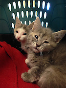 "Homeless Kittens Born without Eyelids<br /> <br /> BOSTON, Oct. 1, 2015 – Two scared and dirty kittens born without eyelids were pulled from a drainage pipe and rushed to the MSPCA-Angell in late August and are now awaiting sight-saving surgery at the MSPCA's Angell Animal Medical Center, the organization announced today. <br />  <br /> The 10-week-old kittens—now named ""Anna"" and ""Elsa""—were rescued by a good Samaritan from a construction site in Dorchester, Mass.  The kittens were born without upper eyelids, a rare congenital condition known as Agenesis.  To save their eyesight Angell Ophthalmologist Dr. Martin Coster will attach tissue from their lower lips to the muscles that enable them to blink which, in effect, reconstructs the missing lids.<br />  <br /> The operation is similar to the one Dr. Coster performed on a kitten named ""Phil,"" whose story of recovery from Agenesis made headlines around the world last December.<br />  <br /> Donations Sought <br /> The surgery is expected to cost over $2,000 and will be paid for by Spike's Fund, a fund that pays the medical care costs of homeless animals in the MSPCA's Boston adoption center.  That fund, owing to the dozens of dogs, cats and other animals surrendered this past summer requiring expensive medical care, is nearly depleted.<br />  <br /> Anyone who wishes to donate may do so by clicking www.mspca.org/dorchesterkittens.<br />  <br /> ""Any donations we raise will be used to offset the costs of Anna and Elsa's surgery and to administer ongoing veterinary care for animals like them,"" said MSPCA-Angell adoption center manager Alyssa Krieger.  ""We're hopeful that those who support our good work will keep doing so, so we can continue going above and beyond for the animals in our care.""<br />  <br /> The surgery is scheduled to take place the week of Oct. 5 now that the kittens have reached two pounds.<br />  <br /> Without the surgery, constant irritation brought on by dry and itchy eyes could lead to ulceration and, eventually, complete blindness for both kittens.  ""We'r"
