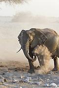African Elephant <br /> Loxodonta africana<br /> Dust bathing<br /> Etosha National Park, Namibia