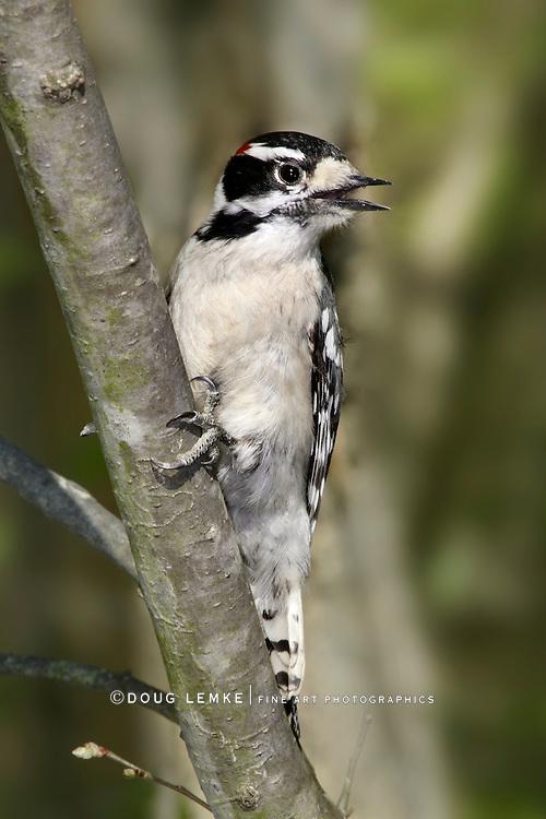 A Cute Little Bird, The Downy Woodpecker, Picoides pubescens
