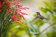 SOUTH BAJA CALIFORNIA HUMMINGBIRD, MEXICO
