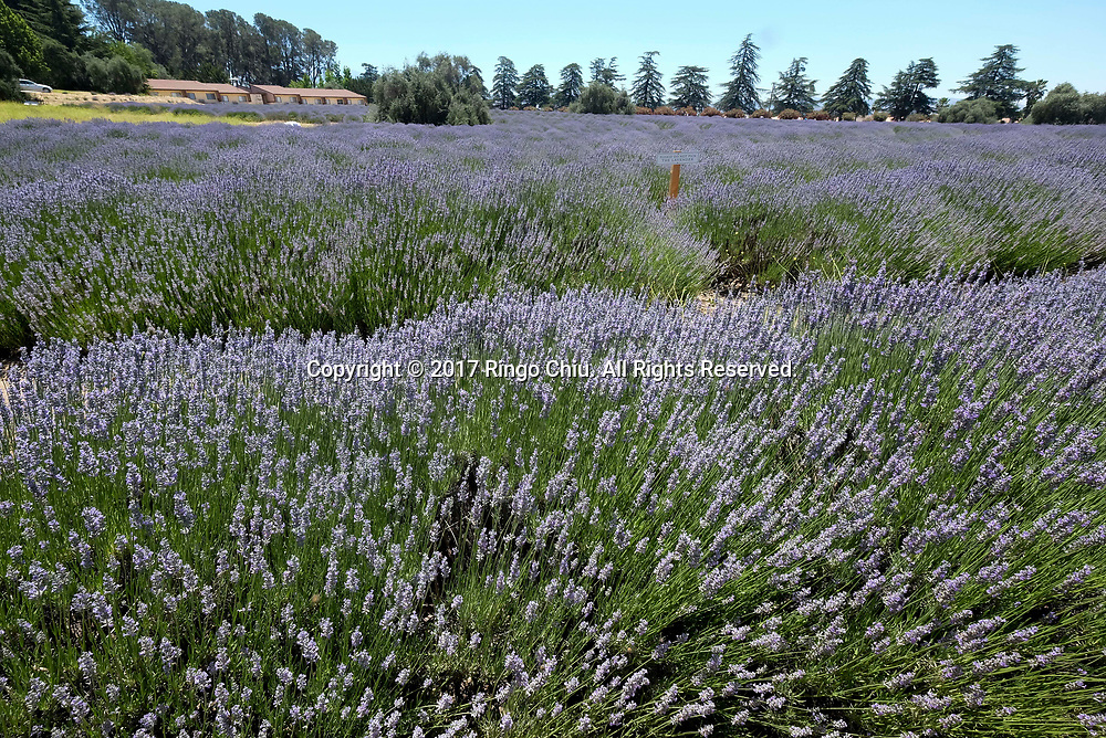 The blooming lavender in the fields at 123 Farm in Cherry Valley during the 13rd Annual Lavender Festival in Riverside, California, June 17, 2017.(Photo by Ringo Chiu)<br /> <br /> Usage Notes: This content is intended for editorial use only. For other uses, additional clearances may be required.