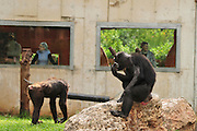 Chimpanzee (Pan troglodytes) in captivity. Humans in a glass cage are looking in