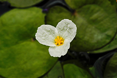 Hydrocharitaceae, Waterkaardefamilie,