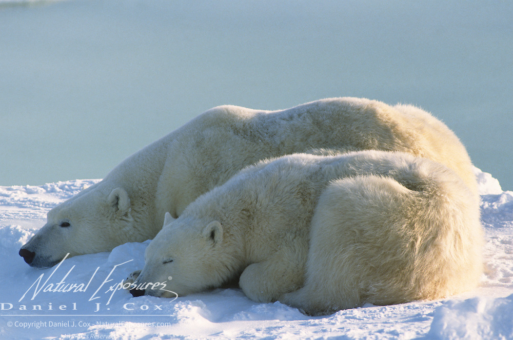 Polar Bear (Ursus maritimus) mother and cub resting along the shores of Hudson Bay near Churchill, Manitoba. Canada.