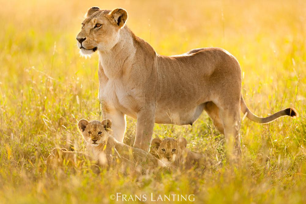 Lioness and cubs, Panthera leo, Serengeti National Park, Tanzania