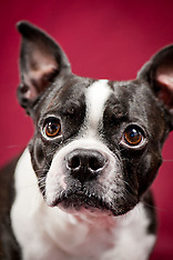 Norman - Boston Terrier