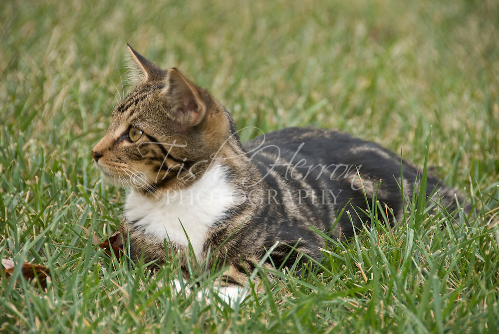 A tabby kitten plays in the grass.